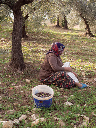 Syrian Refugees help to bring in the olive harvest in Turkey.